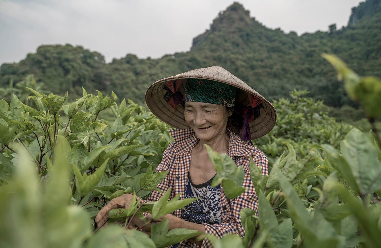 A local Cat Ba Island resident tends to her tea garden