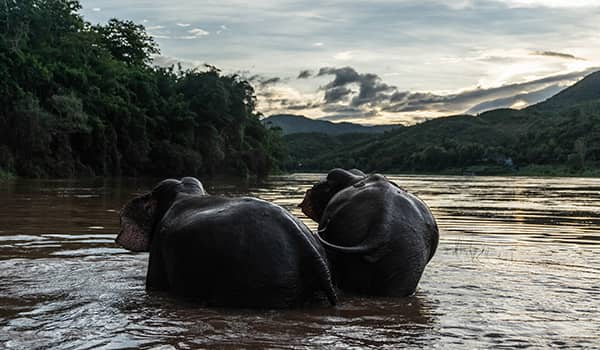 Sisters elephants Mae Ping and Mae Buon Ma bathing in the Mekong River